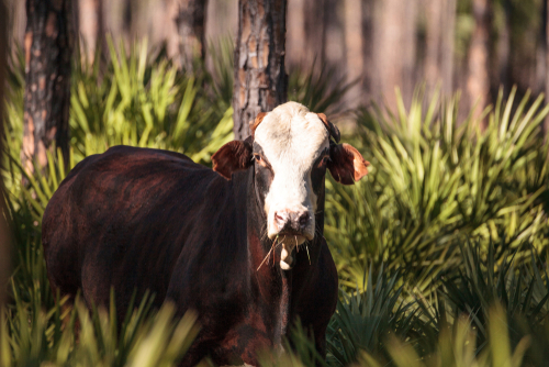 Best Ground Beef in Louisiana
